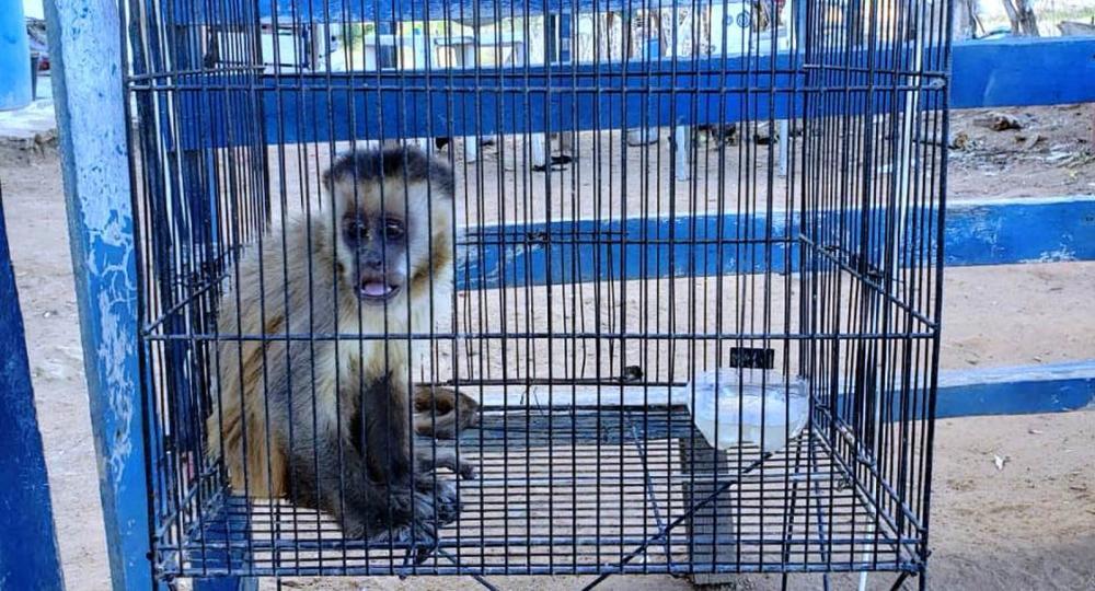Macaco-prego espalhou fósforos próximo de um vasilhame contendo gasolina, o que assustou moradores. — Foto: Alex Pimentel / Sistema Verdes Mares